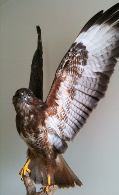 Taxidermy Buzzard - Artisans and Artists | Interior Design Consultants | Ashburton Devon | London | Bath